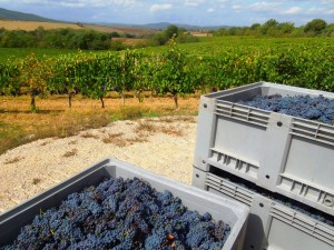 Casato Prime Donne_Montalcino_grape harvest 2012