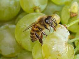 api sull'uva