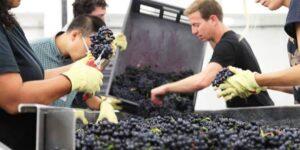 london_cru scelta delle uve