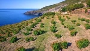 Pantelleria shrub shaped vines