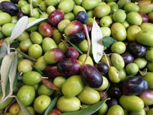 Olives Fattoria del Colle