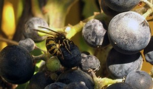 vespa sull'uva
