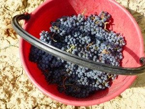 Merlot 2013 harvest Fattoria del Colle