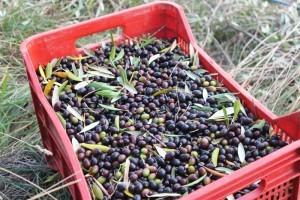 Olives at Fattoria del Colle