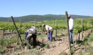 vigne di Brunello