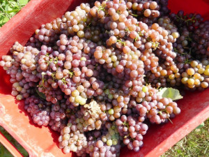 Traminer-grapes-Fattoria-del-Colle