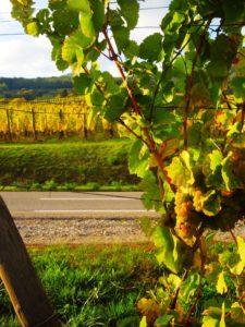 Strada-del-vino-d'alsazia-vigneto
