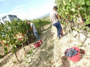 Brunello 2013 harvest at Casato Prime Donne