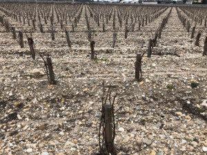 Bordeaux vineyard March 2018
