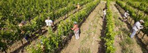 vigna-biologica-Casato-Prime-Donne-Montalcino