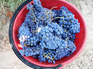weekend-for-harvest-and-racking-Fattoria del Colle