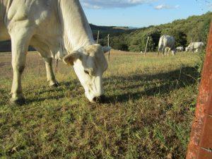 Trequanda vacche chianine al pascolo