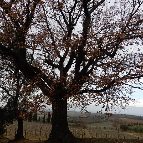 albero-monumentale1