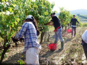 Brunello Montalcino harvest 2013 Casato Prime Donne