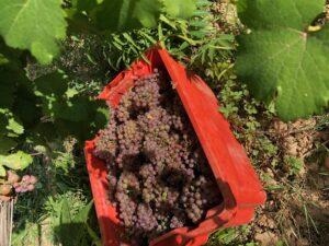 Traminer - Tuscany - 2019 Harvest - Fattoria del Colle